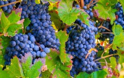 Smart- & Big Data Management in the Vineyard